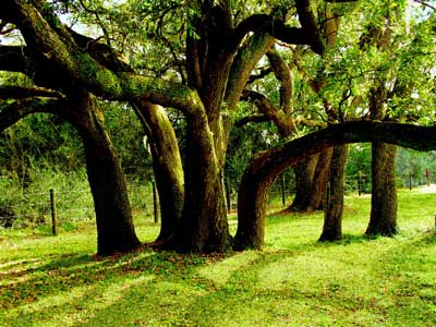 Live oaks at Brazos Bend State Park