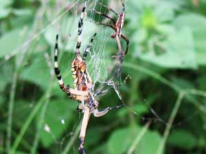Male and female garden spider