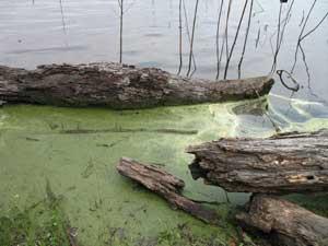 Log alligator