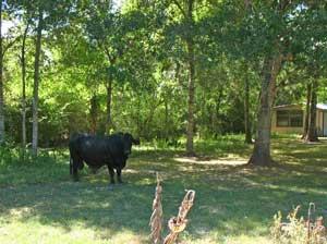 Bull in yard 2011