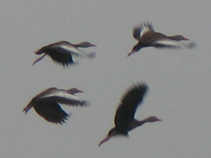 Ducks flying