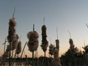 Cattails at dusk
