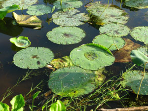 Large Lily pads