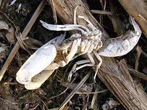 Crayfish skeleton