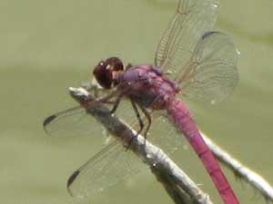 Dragonfly/ Rosate Skimmer Texas