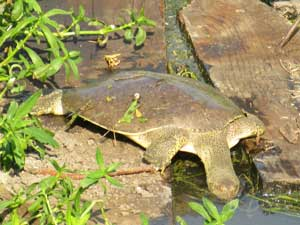 Soft shell turtle on old timbers