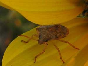 Bug on sunflower