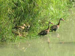Ducks Seabourn Creek
